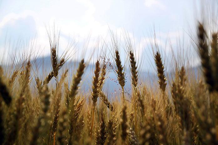 Duży wybór fungicydów na polskim rynku